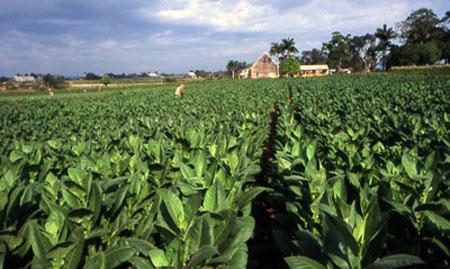 Cuba plants